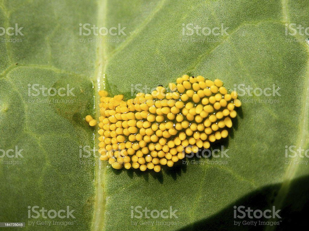 Large Cabbage White butterfly eggs stock photo