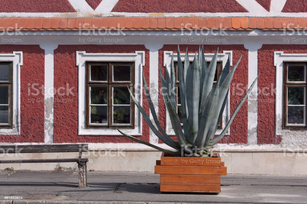 A large cactus in the street of the town of Keszthely. Hungary. Against the background of the red house.A large cactus in the street of the town of Keszthely. Hungary. Against the background of the red house. stock photo