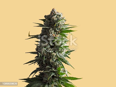 Large Cannabis Plant Isolated on Yellow Color Background
