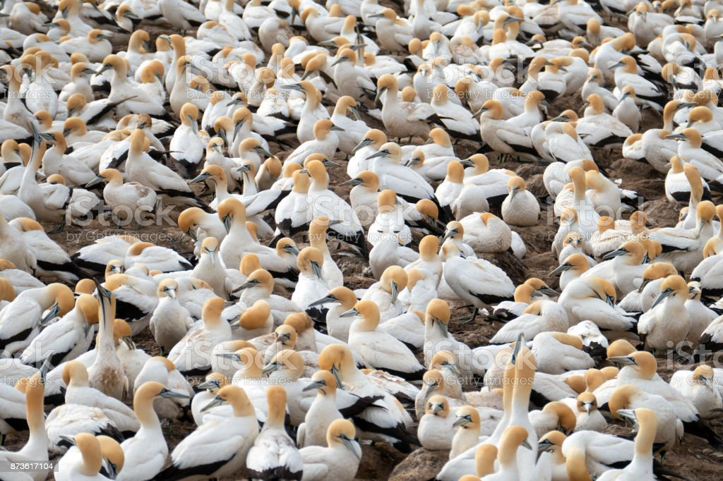 Large cape  gannet breeding colony at the Bird Island Nature Reserve , Lambert's Bay , South Africa stock photo