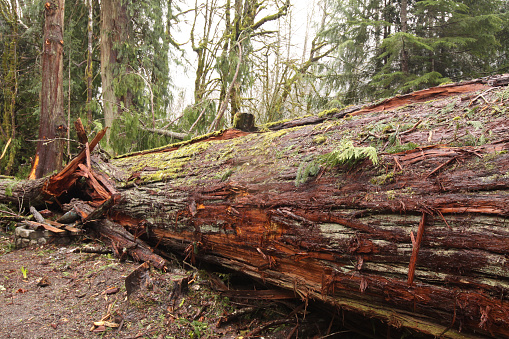 Large Cedar Tree That Fell In The Forest