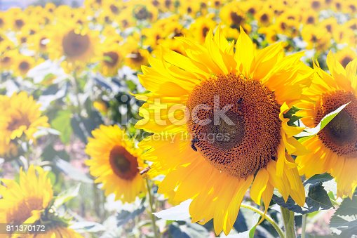 summer background with close up blooming beautiful sunflower and cloudy blue sky