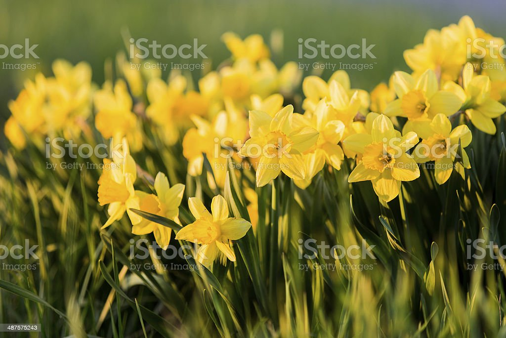 Large Cluster of Spring Daffodils stock photo