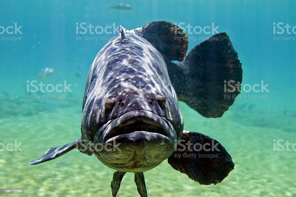 Large Cod royalty-free stock photo