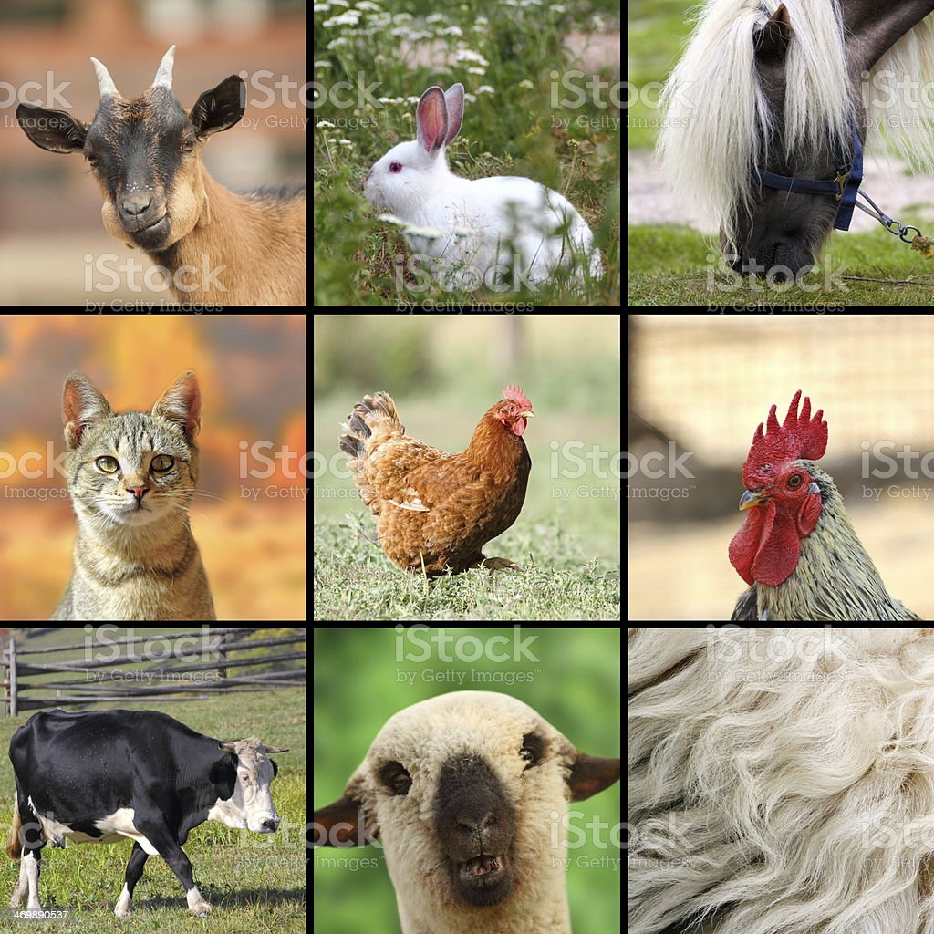 large collage with farm animals stock photo