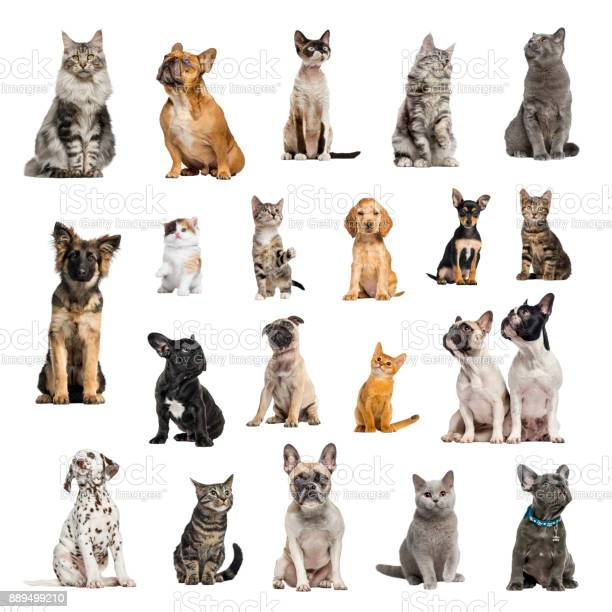 Large collection of 10 dogs and 10 cats in different position picture id889499210?b=1&k=6&m=889499210&s=612x612&h=wocdcjfcop4ftpzdds7goon9d0kdp5fstejojehiyv8=