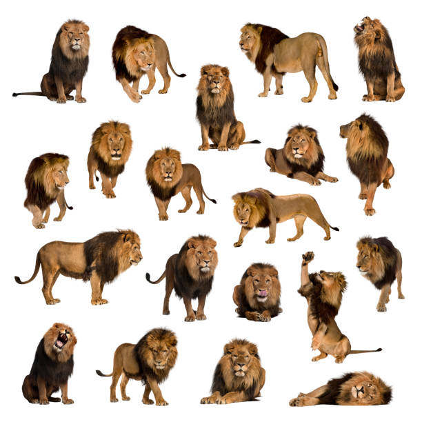 Large collection of adult lion isolated on white background picture id889496904?b=1&k=6&m=889496904&s=612x612&w=0&h=ccmifqcxlm8dmtpomokdtfc0w0e4uhj8gbe17pbkxxk=