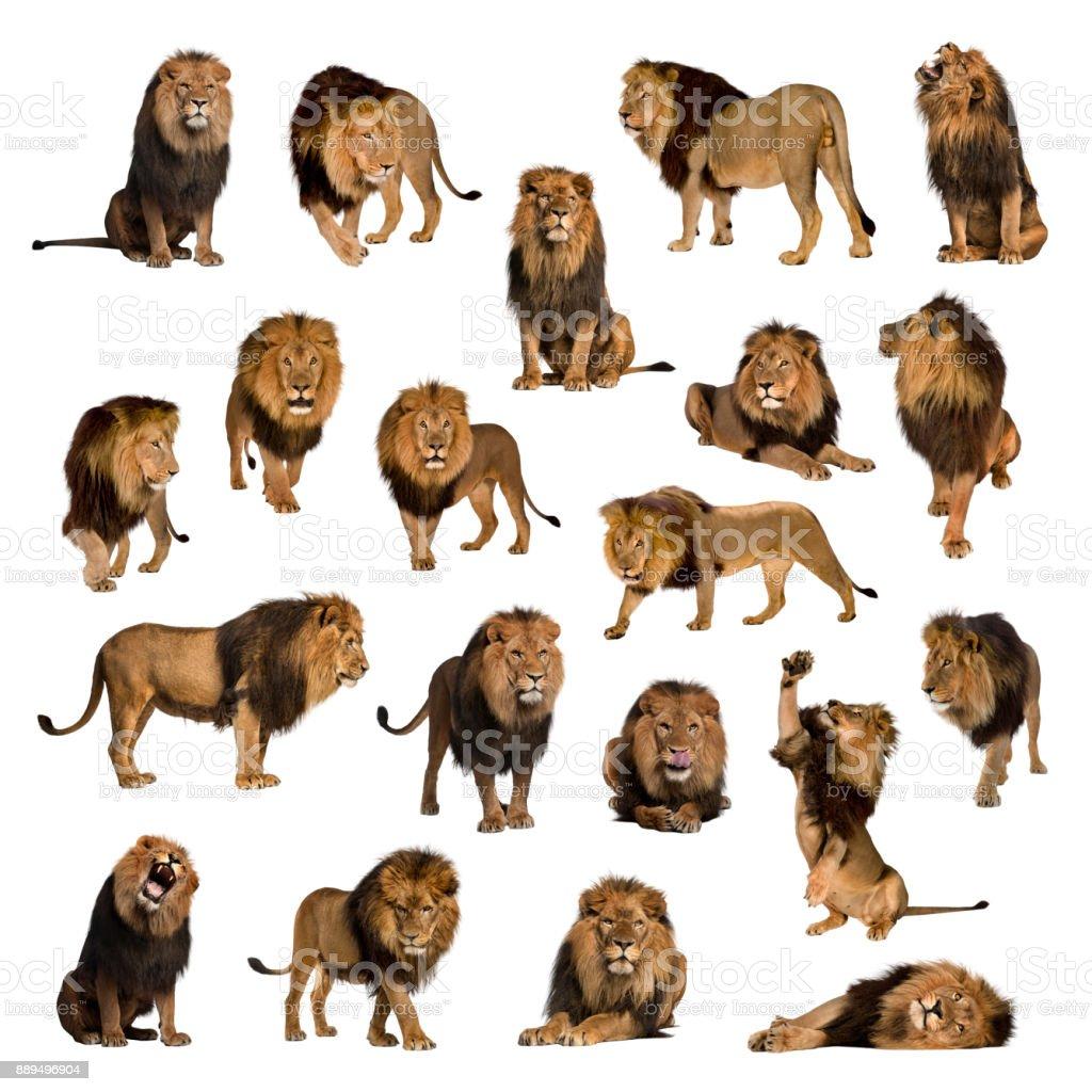 Grande collection de lion adulte isolé sur fond blanc. - Photo