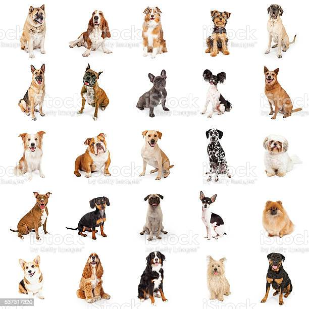 Large collection of common breed dogs picture id537317320?b=1&k=6&m=537317320&s=612x612&h=52bhyecbdxvjncwcfst3gtar80hfcr3cqvftyxqvyqm=