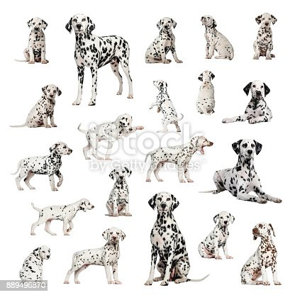 Large collection of Dalmatian, adult and puppy, different position, Isolated on white background.