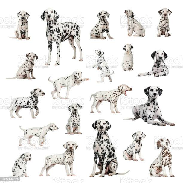 Large collection of dalmatian adult puppy different position picture id889496870?b=1&k=6&m=889496870&s=612x612&h=jfdjfio1wabxfycirgma3lvj2kqaejt9irblizsrpda=