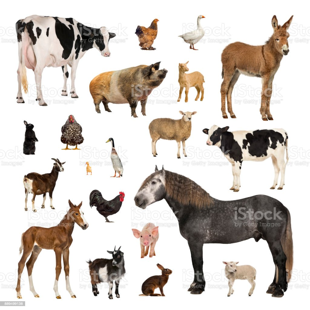 Large collection of farm animal in different position stock photo