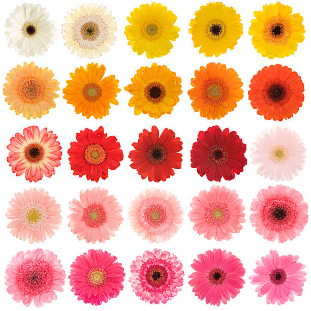 Large collection of isolated Gerbera daisies stock photo