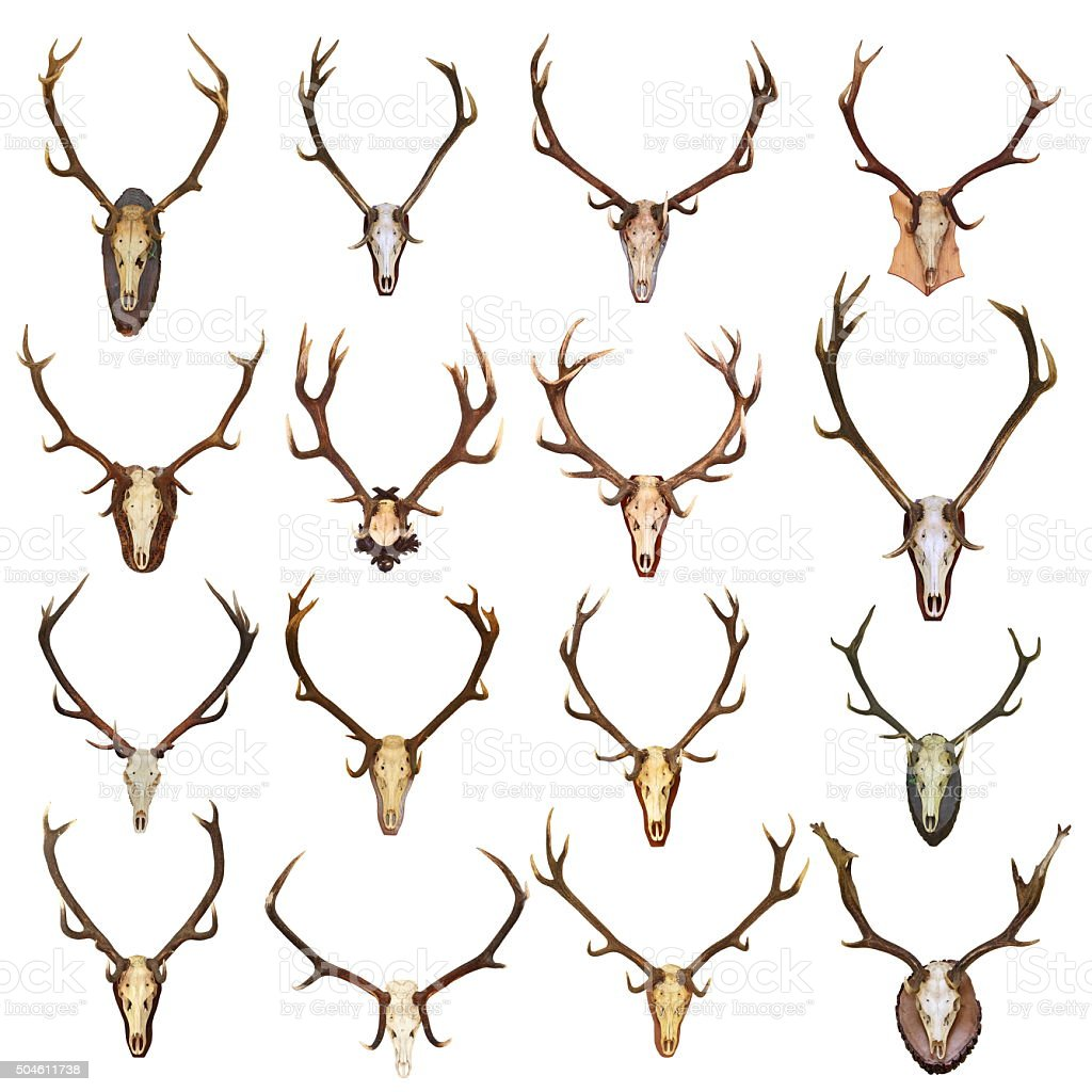 large collection of isolated red deer hunting trophies stock photo