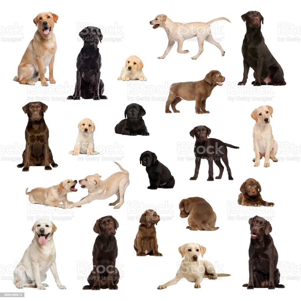 Large collection of Labrador, adult, puppy, different position stock photo