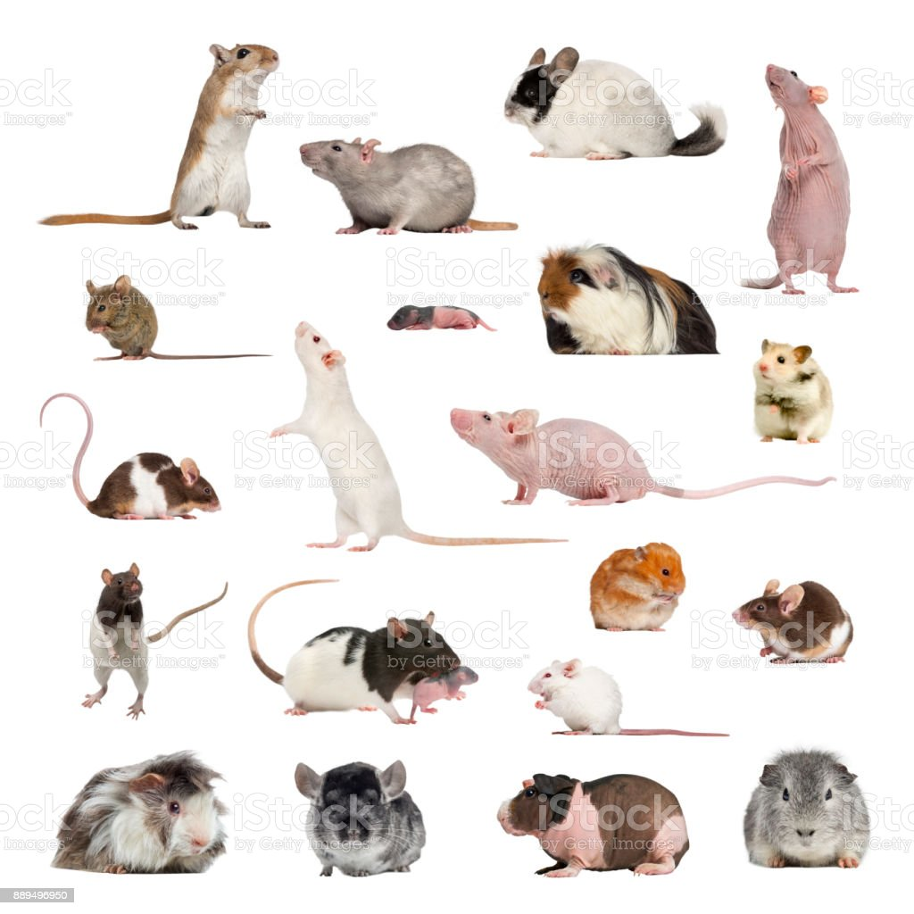Large collection of rodent, pet and exotic, in different position stock photo