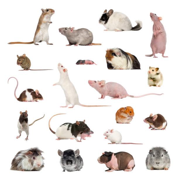 Grande collection de rongeurs, animaux de compagnie et exotiques, dans des positions différentes - Photo