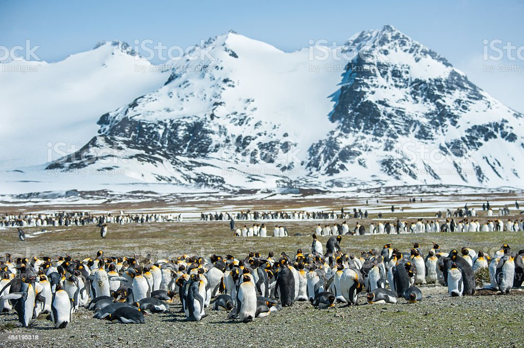 Large Colony of King Penguins in South Georgia stock photo