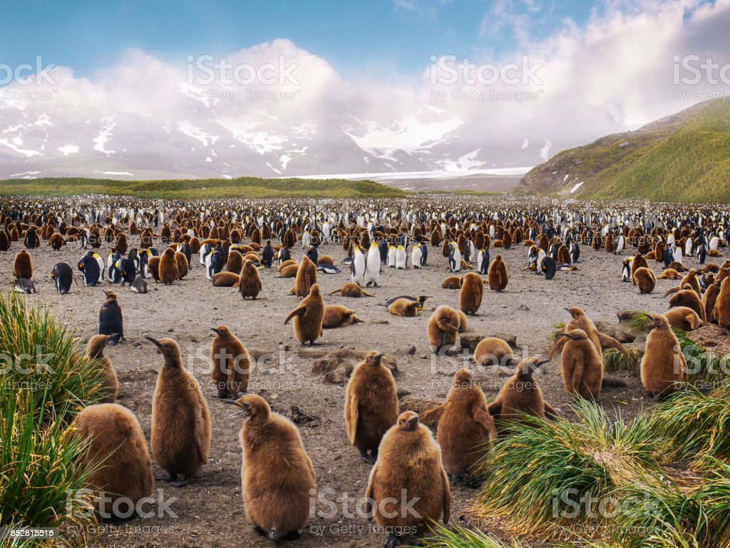 Large colony of king penguins with several juveniles in the foreground with brown downy feathers. Hundreds of adults and chicks in the background. Salisbury Plain, South Georgia Island. stock photo