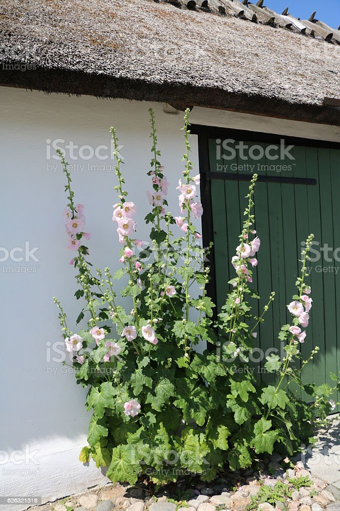 Large common hollyhocks blooming in Sweden stock photo