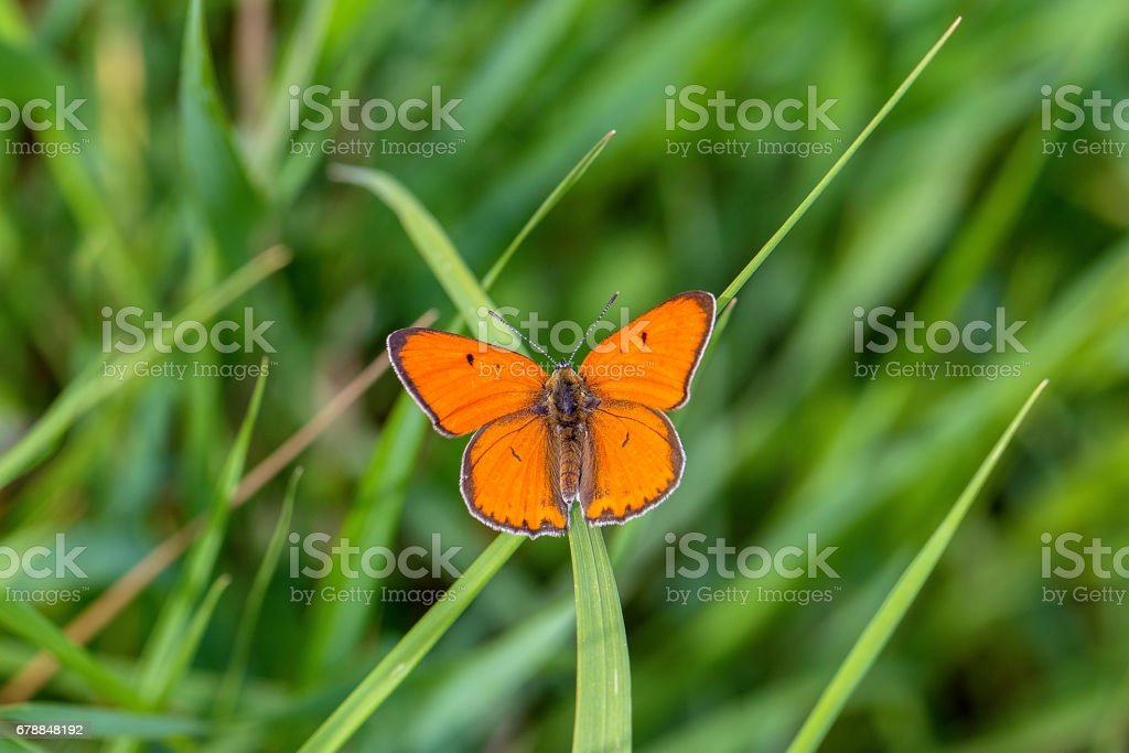 Grand copper (Lycaena dispar) photo libre de droits