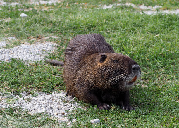 large coypu or nutria, an herbivorous semiaquatic rodent, on a field of northern italy. - introduced species stock pictures, royalty-free photos & images