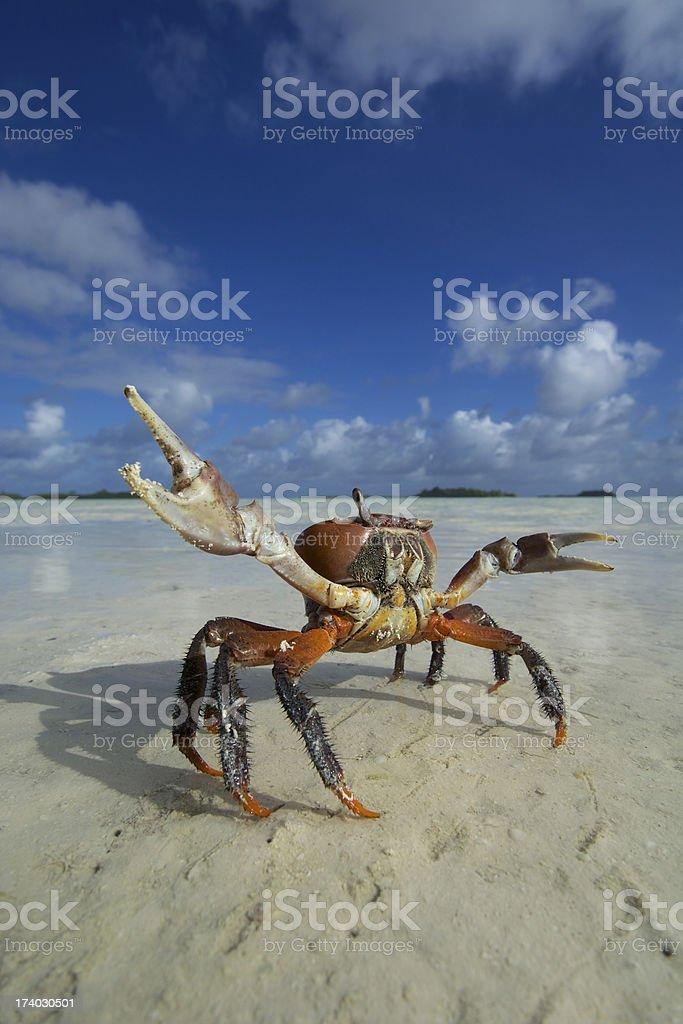 large crab at tropical island royalty-free stock photo
