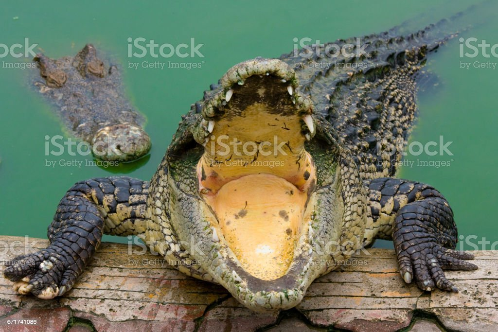 large crocodile with open mouth stock photo