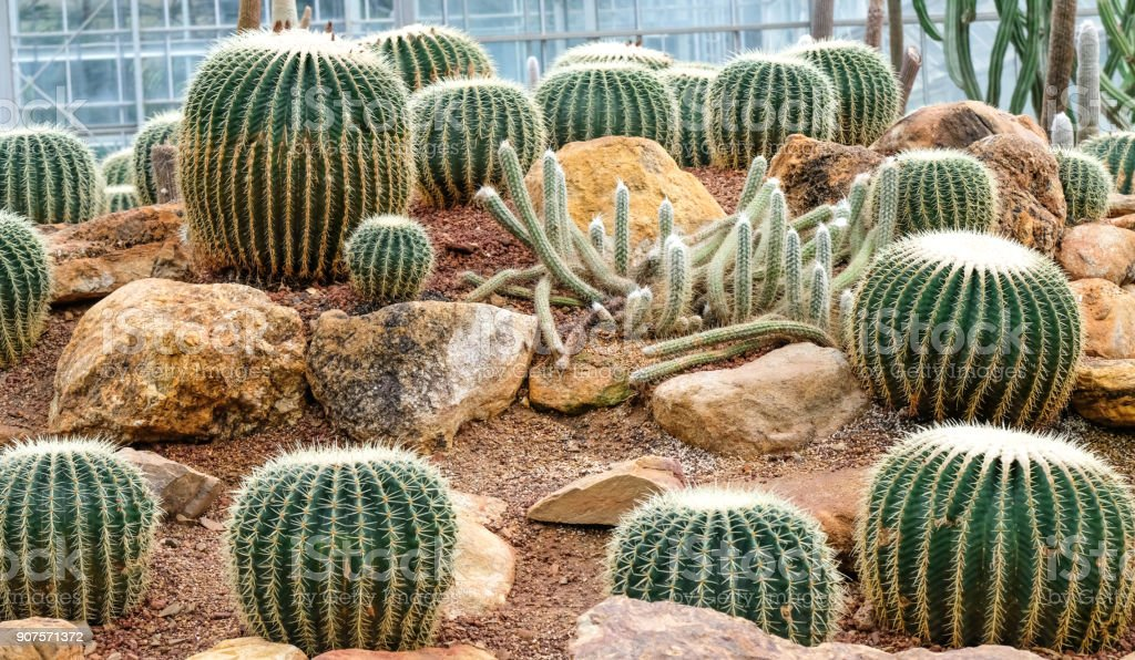 large cultivated cacti stock photo
