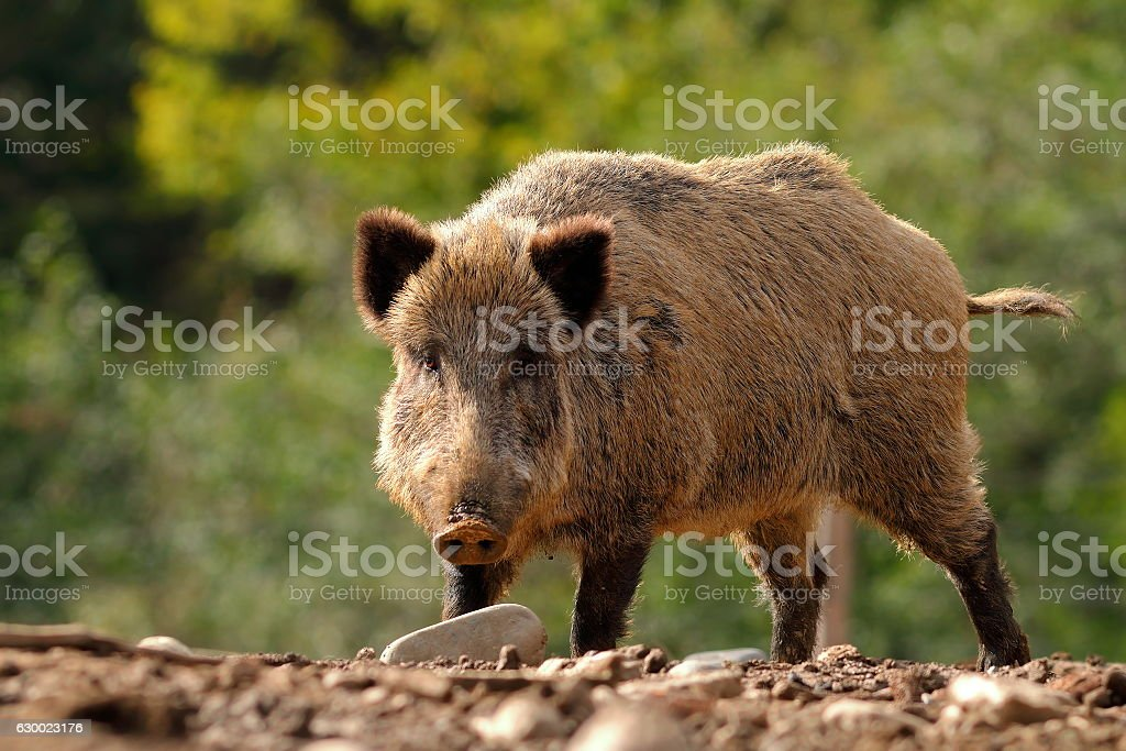 large curious boar stock photo