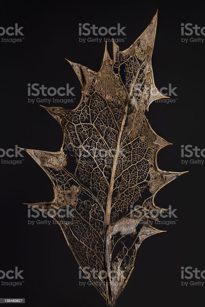 Large Curved Brown Holly Leaf royalty-free stock photo
