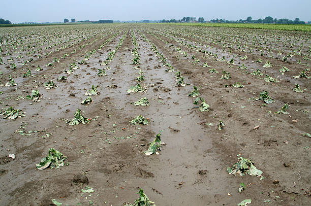 Large, damaged cabbage crop looking muddy and sad stock photo