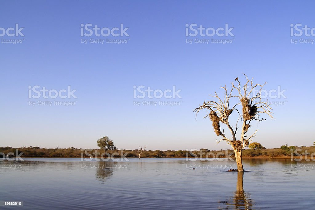 Large dead tree in lake royalty-free stock photo