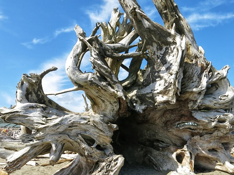 Large Decomposing Tree Trunk, Roots, Washington, Olympic Beach