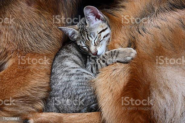 Large dog and a cat picture id170209561?b=1&k=6&m=170209561&s=612x612&h=oqi7wj fn7fpfpfmkvd3f57r4yrsljfhs8bifs4dkgo=