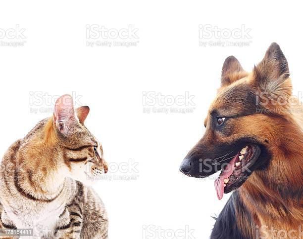 Large dog and a cat picture id178154411?b=1&k=6&m=178154411&s=612x612&h=ocuxkl1izboswvnzegu2fxvylsvupc3ucnyj6yrprtq=