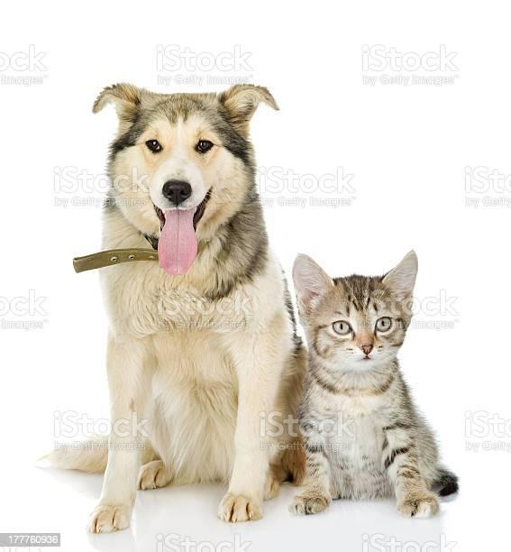 Large dog and kitten picture id177760936?b=1&k=6&m=177760936&s=612x612&h=z jp6kl vakqs1z4qc1ns01r 7lehbxvmljrmidleq4=
