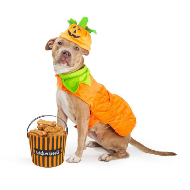Large dog in pumpkin halloween costume picture id877205898?b=1&k=6&m=877205898&s=612x612&w=0&h=fqhgu5phs7p8ramqfuyfpknpiqrxzjqkaqlbmrbrkf0=