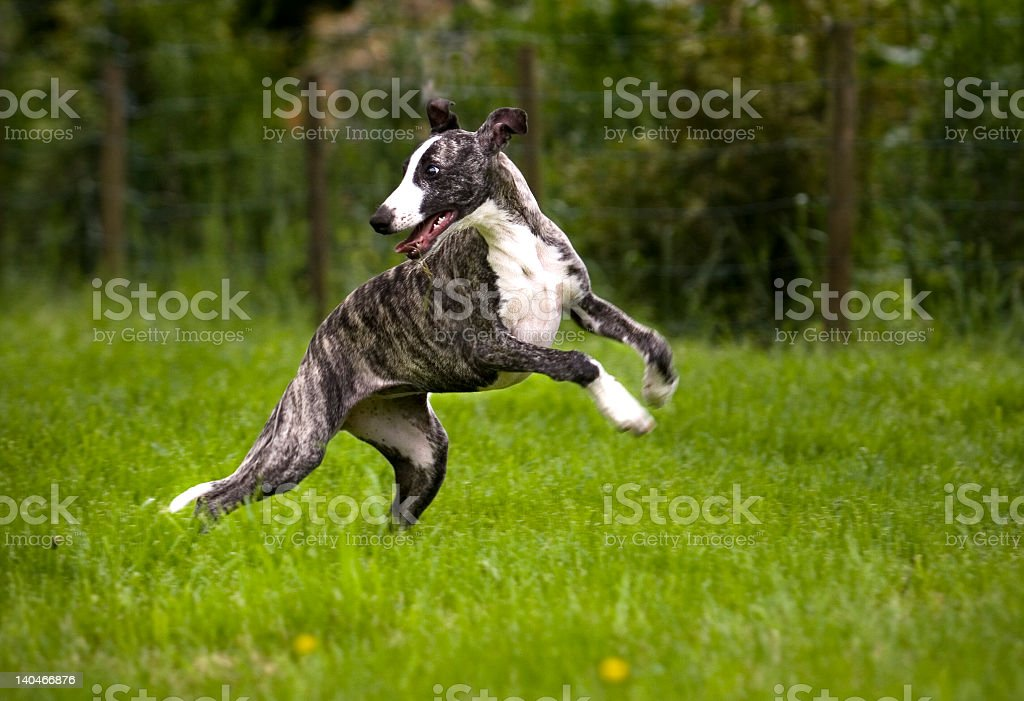 A large dog jumping in a field stock photo