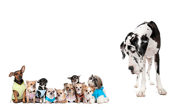 Large dog looking at small puppies against white background stock photo