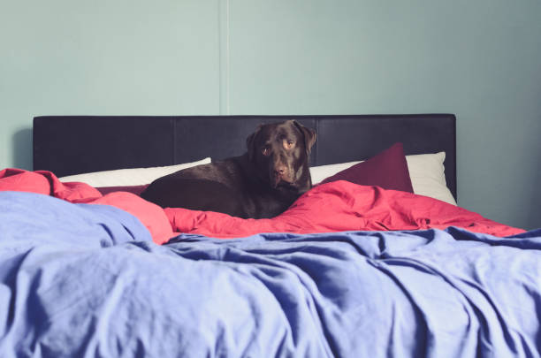large dog lying on the bed stock photo