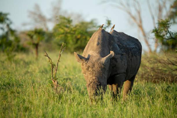 A large dominant white rhino bull – zdjęcie