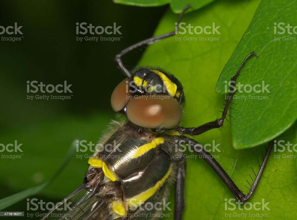 Large dragonfly with brown eyes royalty-free stock photo