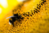 large earth bumblebee (Bombus terrestris) on a sunflower (Helianthus annuus), close-up