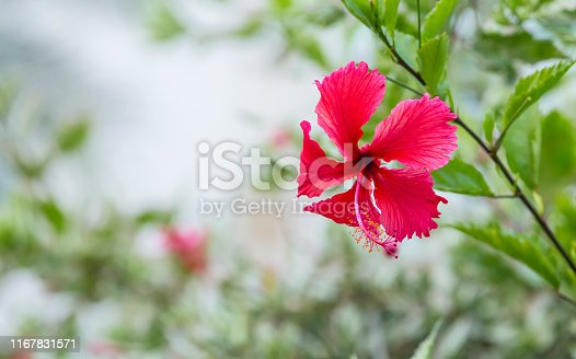 Large elegant red hibiscus Chinese rose flower on blurred green natural background. Also known as hardy hibiscus, rose of sharon, and tropical hibiscus, Chinese hibiscus or rose mallow.