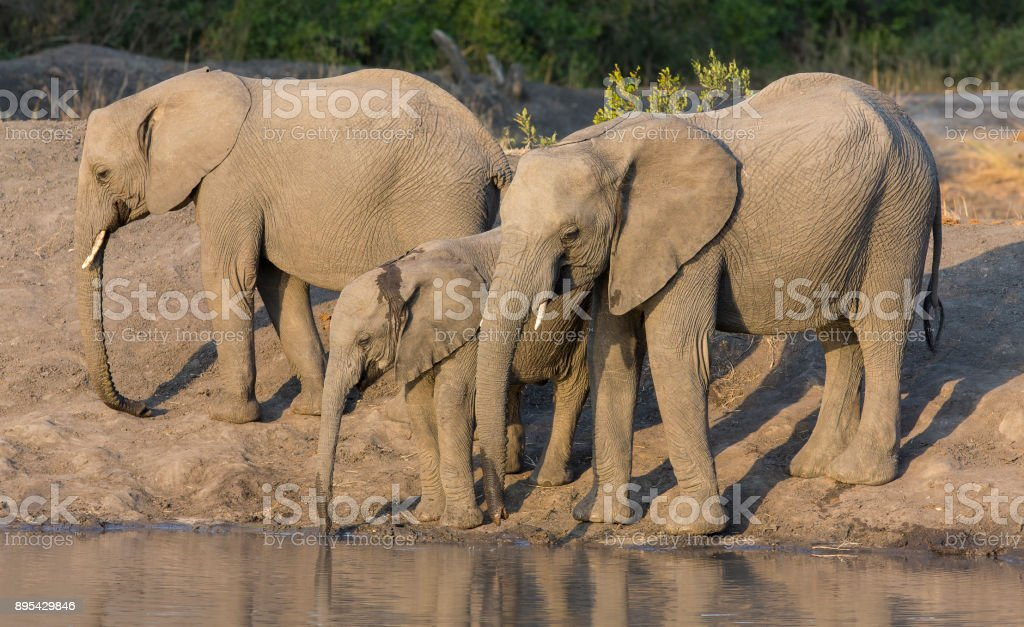 Large elephant herd stand and drink at the edge of a water hole