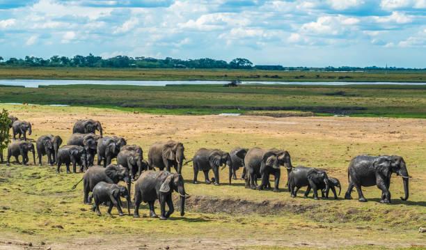 Große Elefanten Herde nehmen ein Bad im Fluss Chove Chobe Riverfront, Serondela, Chobe Nationalpark, Botswana – Foto