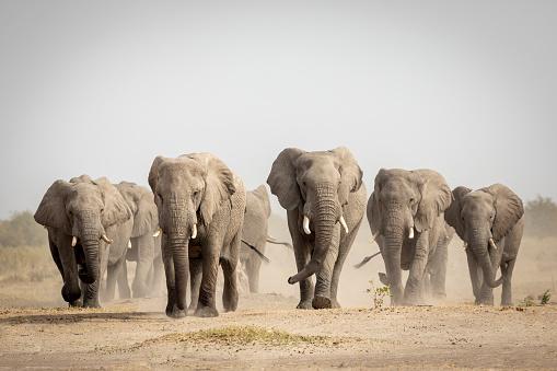 Large elephant family walking in dust in Savuti in Botswana