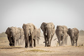 istock Large elephant herd walking in dust in Savuti in Botswana 1272514928