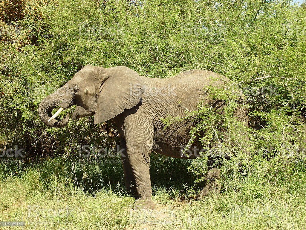 Large elephant matriarch grazing in the bush. royalty-free stock photo